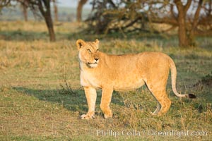 Lion, Olare Orok Conservancy, Kenya. Olare Orok Conservancy, Kenya, Panthera leo, natural history stock photograph, photo id 30120
