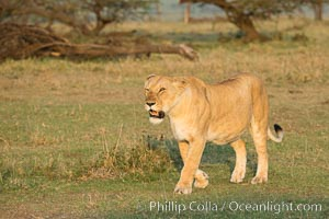 Lion, Olare Orok Conservancy, Kenya. Olare Orok Conservancy, Kenya, Panthera leo, natural history stock photograph, photo id 30122