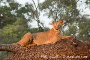 Lion in a tree, Maasai Mara National Reserve, Kenya., Panthera leo, natural history stock photograph, photo id 29870