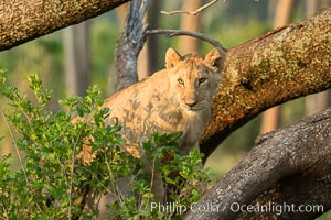 Lion in a tree, Maasai Mara National Reserve, Kenya. Maasai Mara National Reserve, Kenya, Panthera leo, natural history stock photograph, photo id 29880