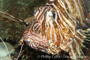 Lionfish., Pterois volitans, natural history stock photograph, photo id 08864