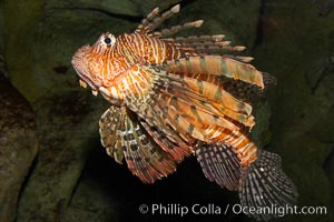 Lionfish., Pterois volitans, natural history stock photograph, photo id 12925