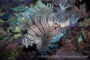 Lionfish., Pterois miles, natural history stock photograph, photo id 11820