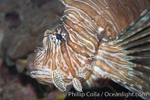Lionfish., Pterois miles, natural history stock photograph, photo id 14507