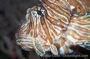 Lionfish., Pterois miles, natural history stock photograph, photo id 14510