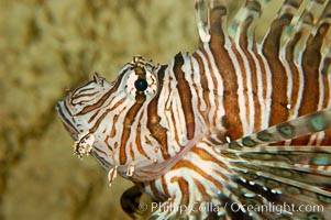 Image 09463, Lionfish., Pterois volitans, Phillip Colla, all rights reserved worldwide. Keywords: animal, dangerous, fish, fish anatomy, indo-pacific, lionfish, lionfish or turkeyfish, marine fish, pterois volitans, spine, turkeyfish, underwater, venom, venomous.