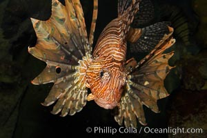 Lionfish., Pterois volitans, natural history stock photograph, photo id 12929