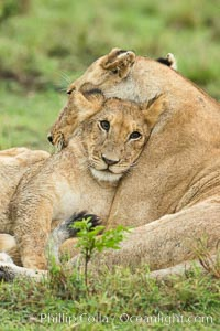Lionness and cub, Maasai Mara National Reserve, Kenya. Maasai Mara National Reserve, Kenya, Panthera leo, natural history stock photograph, photo id 29867