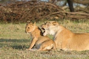 Lionness and cub, Olare Orok Conservancy, Kenya, Panthera leo