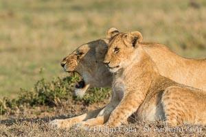 Lionness and cub, Olare Orok Conservancy, Kenya. Olare Orok Conservancy, Kenya, Panthera leo, natural history stock photograph, photo id 30133
