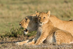Lionness and cub, Olare Orok Conservancy, Kenya. Olare Orok Conservancy, Kenya, Panthera leo, natural history stock photograph, photo id 30134