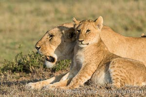 Lionness and cub, Olare Orok Conservancy, Kenya. Olare Orok Conservancy, Kenya, Panthera leo, natural history stock photograph, photo id 30135