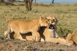 Lionness and cub, Olare Orok Conservancy, Kenya. Olare Orok Conservancy, Kenya, Panthera leo, natural history stock photograph, photo id 30136