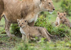 Lionness and two week old cubs, Maasai Mara National Reserve, Kenya, Panthera leo