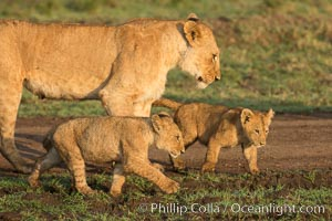 Lionness and cubs, Maasai Mara National Reserve, Kenya., Panthera leo, natural history stock photograph, photo id 29920