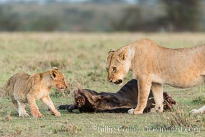 Lionness and cubs with kill, Olare Orok Conservancy, Kenya. Olare Orok Conservancy, Kenya, Panthera leo, natural history stock photograph, photo id 30101