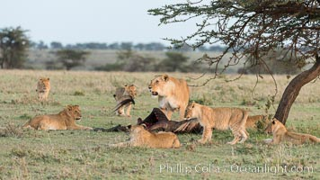 Lionness and cubs with kill, Olare Orok Conservancy, Kenya. Olare Orok Conservancy, Kenya, Panthera leo, natural history stock photograph, photo id 30104