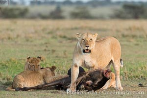 Lionness and cubs with kill, Olare Orok Conservancy, Kenya. Olare Orok Conservancy, Kenya, Panthera leo, natural history stock photograph, photo id 30107