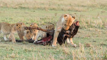 Lionness and cubs with kill, Olare Orok Conservancy, Kenya. Olare Orok Conservancy, Kenya, Panthera leo, natural history stock photograph, photo id 30108
