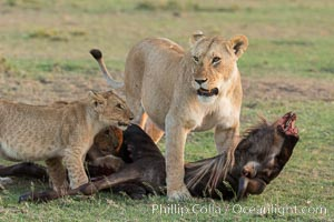 Lionness and cubs with kill, Olare Orok Conservancy, Kenya. Olare Orok Conservancy, Kenya, Panthera leo, natural history stock photograph, photo id 30110
