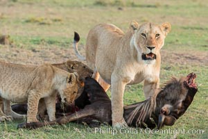 Lionness and cubs with kill, Olare Orok Conservancy, Kenya. Olare Orok Conservancy, Kenya, Panthera leo, natural history stock photograph, photo id 30111