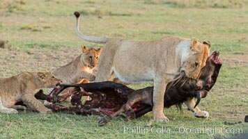 Lionness and cubs with kill, Olare Orok Conservancy, Kenya. Olare Orok Conservancy, Kenya, Panthera leo, natural history stock photograph, photo id 30112