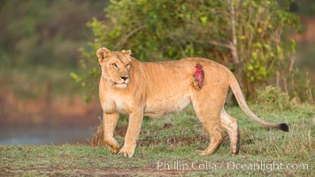 Lionness with injury from water buffalo, Maasai Mara National Reserve, Kenya, Panthera leo