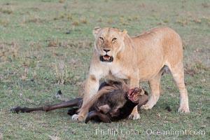 Lionness with kill, Olare Orok Conservancy, Kenya. Olare Orok Conservancy, Kenya, Panthera leo, natural history stock photograph, photo id 30099