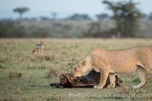 Lionness with kill, Olare Orok Conservancy, Kenya. Olare Orok Conservancy, Kenya, Panthera leo, natural history stock photograph, photo id 30102