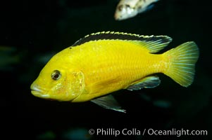 Lions cove yellow labido, Labidochromis