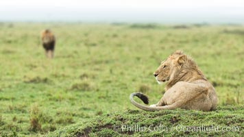 Lions, Maasai Mara National Reserve, Kenya. Maasai Mara National Reserve, Kenya, Panthera leo, natural history stock photograph, photo id 29861