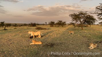 Lions, Olare Orok Conservancy, Kenya, Panthera leo