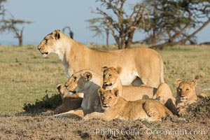 Image 30137, Lions, Olare Orok Conservancy, Kenya. Olare Orok Conservancy, Kenya, Panthera leo, Phillip Colla, all rights reserved worldwide. Keywords: africa, animalia, carnivora, cat, chordata, east african lion, family, felidae, group, kenya, lion, maasai lion, maasai mara, mammal, mammalia, natural, nature, olare orok conservancy, outdoors, outside, panthera, panthera leo, panthera leo nubica, pantherinae, predator, pride, safari, vertebrata, wild, wildlife.