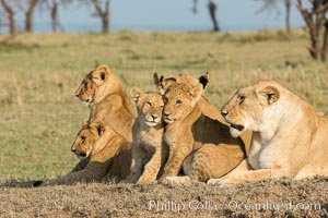 Lions, Olare Orok Conservancy, Kenya., Panthera leo, natural history stock photograph, photo id 30138