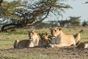 Lions, Olare Orok Conservancy, Kenya. Olare Orok Conservancy, Kenya, Panthera leo, natural history stock photograph, photo id 30140