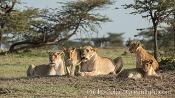 Lions, Olare Orok Conservancy, Kenya. Olare Orok Conservancy, Kenya, Panthera leo, natural history stock photograph, photo id 30141