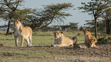 Lions, Olare Orok Conservancy, Kenya. Olare Orok Conservancy, Kenya, Panthera leo, natural history stock photograph, photo id 30142