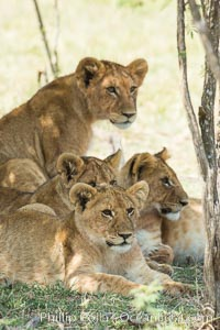 Lions resting in shade during midday heat, Olare Orok Conservancy, Kenya. Olare Orok Conservancy, Kenya, Panthera leo, natural history stock photograph, photo id 30008