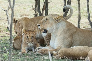 Lions resting in shade during midday heat, Olare Orok Conservancy, Kenya, Panthera leo