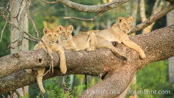 Lions in a tree, Maasai Mara National Reserve, Kenya. Maasai Mara National Reserve, Kenya, Panthera leo, natural history stock photograph, photo id 29882