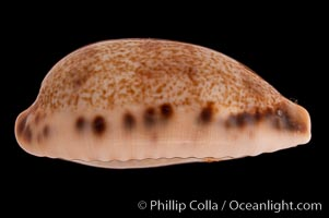 Image 08320, Lisping Caurica Cowrie., Cypraea caurica blaesa, Phillip Colla, all rights reserved worldwide.   Keywords: cowries:cypraea caurica blaesa:lisping caurica cowrie:shells.