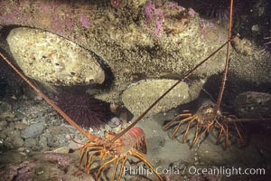 Spiny lobster and several abalone, Panulirus interruptus, San Clemente Island
