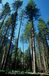 Pine trees, Yosemite Valley, Pinus contortus, Yosemite National Park, California