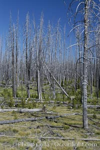 Yellowstones historic 1988 fires destroyed vast expanses of forest. Here scorched, dead stands of lodgepole pine stand testament to these fires, and to the renewal of these forests. Seedling and small lodgepole pines can be seen emerging between the dead trees, growing quickly on the nutrients left behind the fires. Southern Yellowstone National Park. Yellowstone National Park, Wyoming, USA, Pinus contortus, natural history stock photograph, photo id 07300