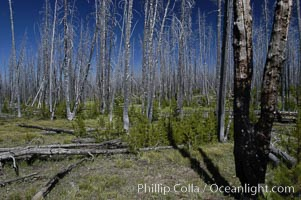 Yellowstones historic 1988 fires destroyed vast expanses of forest. Here scorched, dead stands of lodgepole pine stand testament to these fires, and to the renewal of these forests. Seedling and small lodgepole pines can be seen emerging between the dead trees, growing quickly on the nutrients left behind the fires. Southern Yellowstone National Park, Pinus contortus