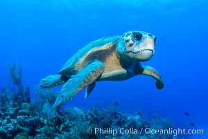 Loggerhead turtle, Caretta caretta, Grand Cayman Island
