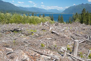 Logging companies have clear cut this forest near Lake Quinalt, leaving wreckage in their wake, Olympic National Park, Washington