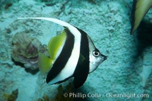 Longfin pennantfish, Heniochus acuminatus