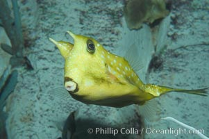 Longhorn cowfish., Lactoria cornuta, natural history stock photograph, photo id 07837