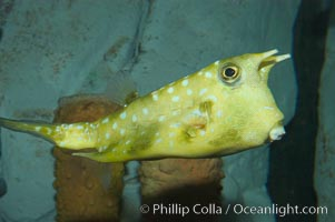 Longhorn cowfish., Lactoria cornuta, natural history stock photograph, photo id 07838